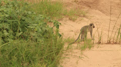 Vervet monkey pan to injured rhino Stock Footage