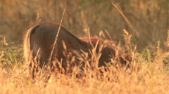Warthog foraging in golden grass Stock Footage