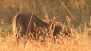 Stock Video Footage of Warthog foraging in golden grass