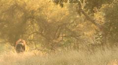 Warthog in golden light Stock Footage