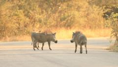 Warthogs Walking Down a Road in Africa Stock Footage