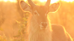 Waterbuck in orange light 010 Stock Footage