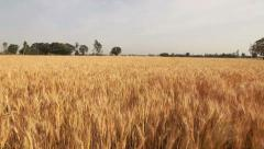Stock Video Footage of aerial shot of a wheat field