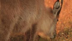 Waterbuck in orange light 05 Stock Footage