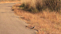 Yellow billed hornbill bird on road in Africa Stock Footage