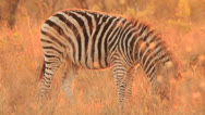 Stock Video Footage of Zebra in orange light