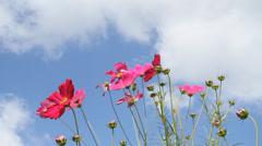 Cosmos garden and blue sky Stock Footage