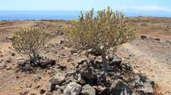 Stock Video Footage of Cacuts ESPOSTOA in La Caleta Tenerife south