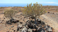 Stock Video Footage of Cacuts ESPOSTOA in La Caleta Tenerife south