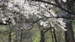 Cherry Blossoms or Sakura flowers Spring flowers Stock Footage