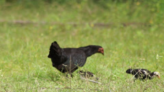 Hen and chicken Stock Footage