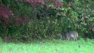 Stock Video Footage of whitetailed deer