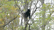 Stock Video Footage of Black bear in a tree