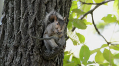 Gray squirrel in a tree Stock Footage