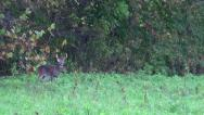 Stock Video Footage of White-tailed buck scraping