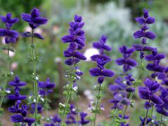 beautiful flowers of salvia - stock photo