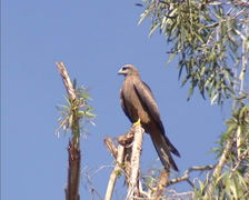 Black Kite (Milvus migrans) perched on branch against blue sky Stock Footage