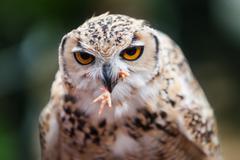Pharaoh eagle-owl Stock Photos