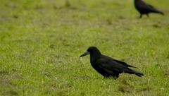 Crows searching for food . FULL HD Stock Footage