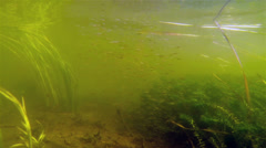 Small size school of fish swimming Stock Footage
