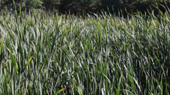 cattail reeds - stock footage