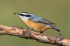 red-breasted nuthatch on a perch - stock photo