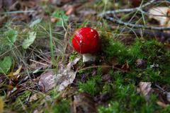 mushroom amanita muscaria - seta amanita muscaria - stock photo