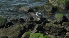 Seagull on mossy rocks (3 of 3) Stock Footage