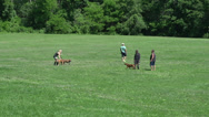 Stock Video Footage of Dogs playing in a field (6 of 6)