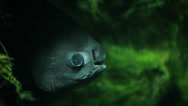 Stock Video Footage of dangerous piranha under water