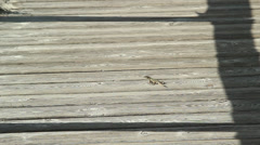 Lizard on a plank road Stock Footage