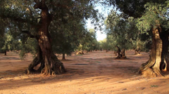 Olive grove Stock Footage