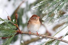 Field sparrow (spizella pusilla) on a snow-covered branch Stock Photos