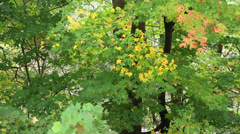 Early Fall Leaves Changing Color Stock Footage