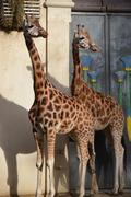Two giraffes at the zoo of Antwerp - stock photo