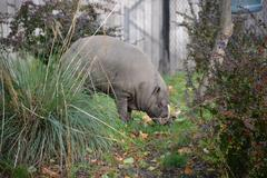 A wild pig at the zoo in Antwerp - stock photo