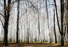 autumn october birch grove with sunbeams and shadows - stock photo