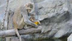 Cute little monkey and mother monkey Stock Footage
