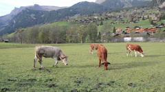 Milky cows grazing in swiss mountain pasture Stock Footage
