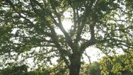 Stock Video Footage of Oak tree foliage