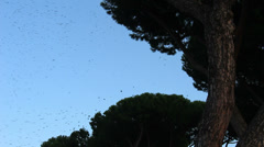 Thousands of starlings fly 17 Stock Footage