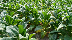 Farmer working plants tobacco in farm of thailand Stock Footage