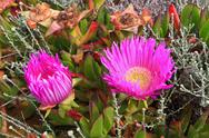 Stock Photo of carpobrotus acinaciformis
