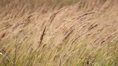 Grass stalk constantly moving along with the breeze of the air Stock Footage