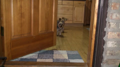 Three Yorkie in the doorway 2 Stock Footage