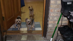 Three yorkie in the doorway Stock Footage