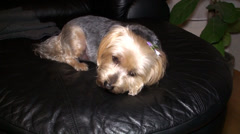 Yorkie on the couch chewing snack Stock Footage