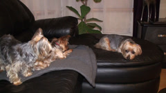 Three Yorkie on the couch Stock Footage