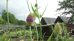 Common Teasel in bloom + pan garden, farmhouse in background Stock Footage