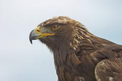 A Golden Eagle, Aquila chrysaetos, in a close up portrait. - stock photo